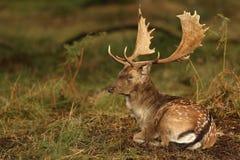 小鹿& x28;黄鹿dama& x29;休息在一个树木繁茂区 库存照片