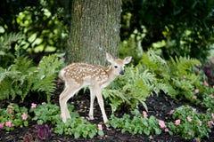 小鹿 免版税库存图片
