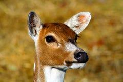 小鹿 库存照片