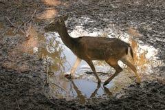 小鹿 免版税图库摄影