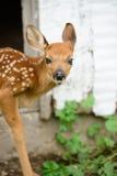 小鹿 库存图片