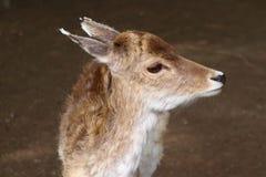 小鹿Cervidae画象  免版税库存照片