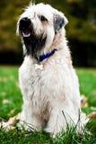 小麦上漆的滑稽的爱尔兰软的狗 库存照片