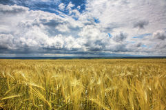 小麦的域 免版税库存照片