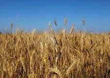 小麦的域 免版税库存图片