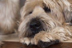 小麦纵向的狗 库存照片