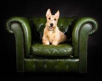 小麦苏格兰的狗 图库摄影