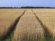 小麦领域 库存图片
