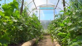 小黄瓜和花在黄瓜灌木自温室增长 蕃茄灌木在温室里开花 股票视频