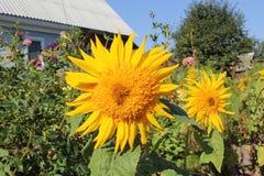 小黄色向日葵 照片2 免版税库存照片