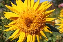 小黄色向日葵 照片1 库存照片