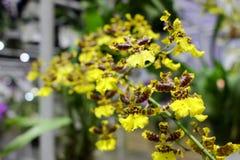 小黄色和布朗兰花开花有绿色兰花叶子背景 库存照片