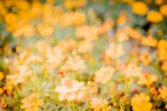 小黄色花在领域软的焦点迷离bokeh自然背景中 库存图片