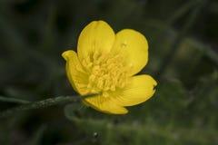小黄色花,极端关闭 库存图片