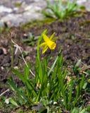 小黄色黄水仙或水仙在花圃,选择聚焦,浅DOF开花特写镜头 库存图片