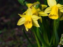 小黄色黄水仙或水仙在花圃,选择聚焦,浅DOF开花特写镜头 库存照片