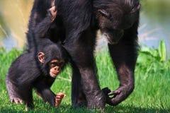 小黑猩猩他母亲走 免版税库存图片