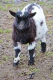 小黑白本国山羊孩子画象  免版税库存图片
