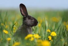 小黑色的兔子 免版税库存图片