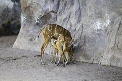 小鼓羚羊,非洲羚羊类 图库摄影