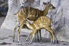小鼓羚羊,非洲羚羊类 免版税库存照片
