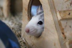小鼠在他的房子里 免版税库存照片
