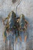 小龙虾二 库存照片