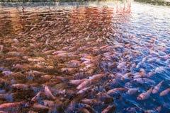 小龙虾在池塘 免版税库存照片