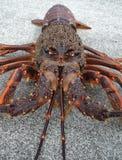 小龙虾多刺龙虾的岩石 免版税库存照片