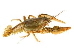 小龙虾欧洲 库存图片