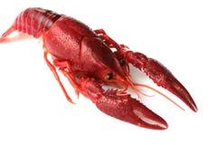 小龙虾红色 免版税库存照片