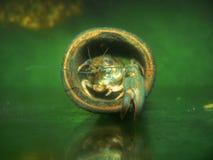 小龙虾螃蟹画象 免版税图库摄影