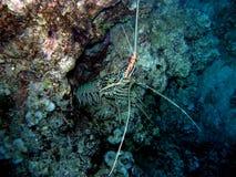 小龙虾被绘的斐济龙虾 免版税库存图片