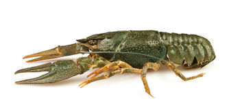 小龙虾运行一个 库存图片