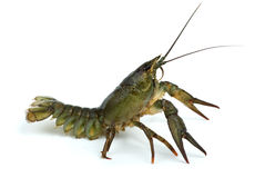 小龙虾防御地位 库存图片