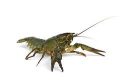 小龙虾防御地位 库存照片
