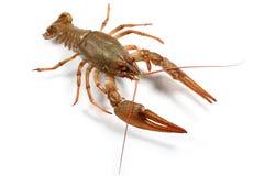 小龙虾 库存图片