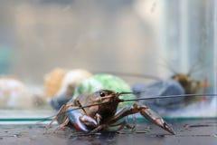 小龙虾 免版税图库摄影