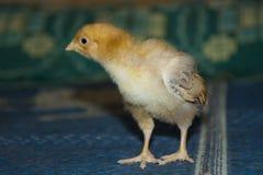 小,柔软的小鸡步行 免版税库存图片