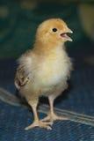 小,柔软的小鸡步行 库存照片
