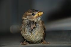 小,湿麻雀画象  免版税库存图片