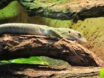 小,绿色和轻快蜥蜴不几乎是可看见的 她坐树和观看,无需移动 库存照片