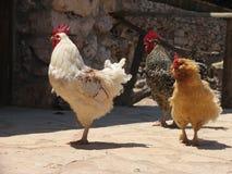 小组三只踱步的雄鸡 图库摄影