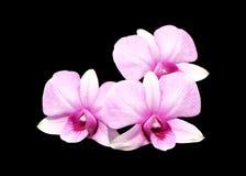 小组三朵淡粉红的石斛兰属兰花花 免版税库存照片