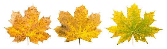 小组三片槭树叶子用不同的stades凋枯  免版税库存图片