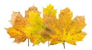 小组三片槭树叶子用摧毁的ove不同的stades  库存图片