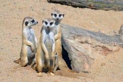 小组三Suricatas在沙子在动物园里 库存图片