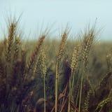 小水滴下在麦子在蓝天-葡萄酒下 库存照片