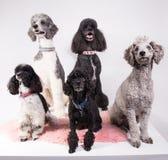小组不同的长卷毛狗 库存图片