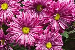 小组与叶子的美丽的菊花花 免版税图库摄影